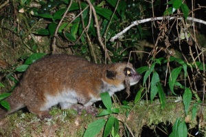 Non-hibernating Crossley's dwarf lemur from Tsinjoarivo forest Credit: K. Dausmann