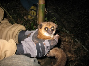 Close up of Crossley's dwarf lemur from Tsinjoarivo held close to hibernaculum Credit: M. Blanco
